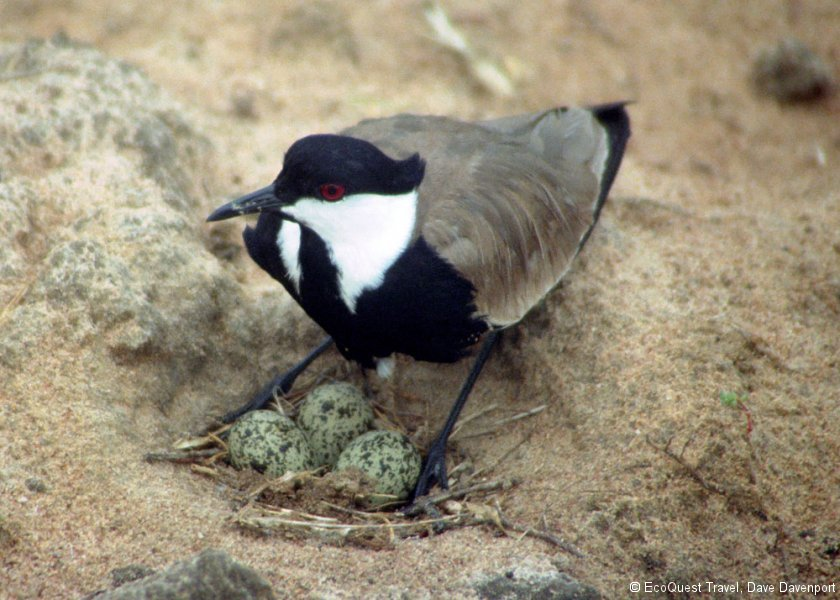 Spurwinged plover