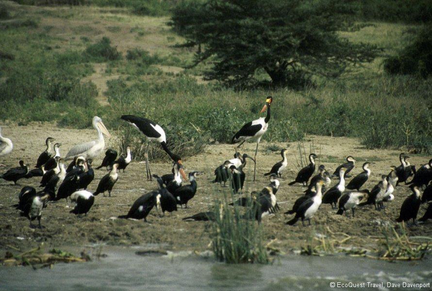 Uganda Water Birds