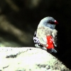 DiamondFireFinch_ab