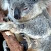 Koala_ab