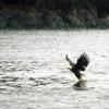 BaldEagleTerraNovaNPNewfoundland2004_ab