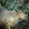 Capybara_ab