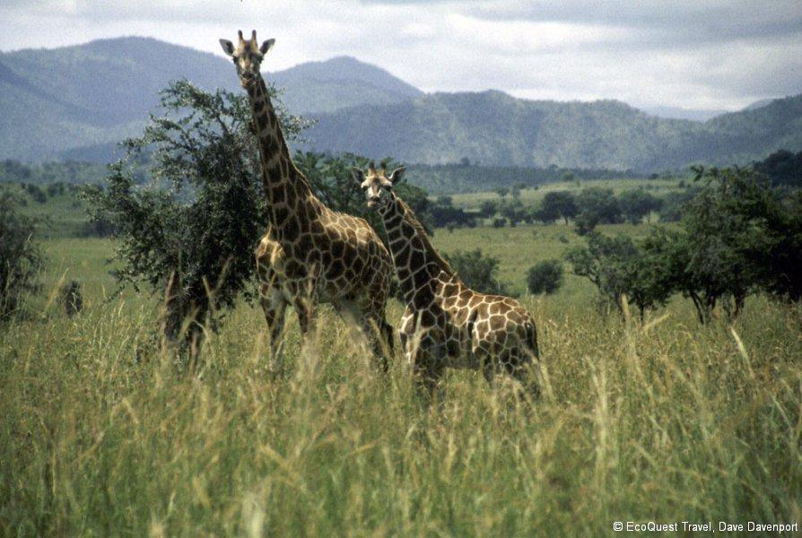 GiraffeWIthYoung_ab