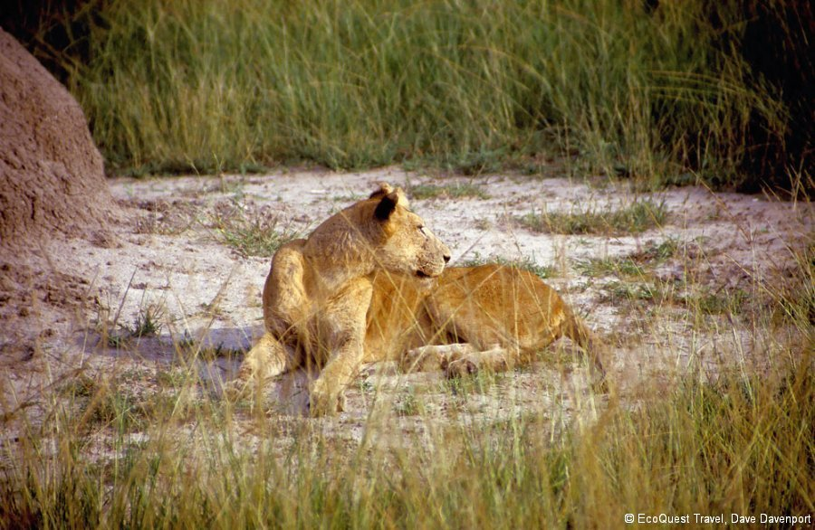 LionessQueenElizabethNP_ab