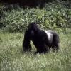 Chief_gorilla_ab