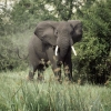 ElephantBull_ab