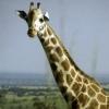 Giraffe_ab