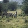 Zebras_ab